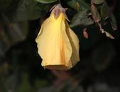 鄉村:黃槿花 - 花謝
