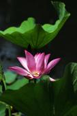 2018植物園荷花:IMG_9552