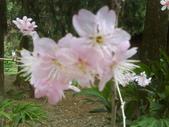 九族櫻花季:1095762309.jpg