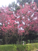 九族櫻花季:1095762329.jpg