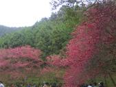 九族櫻花季:1095762315.jpg