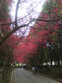 九族櫻花季:1095762323.jpg