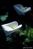 花卉植物:海芋
