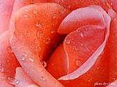 花卉植物:玫瑰之一