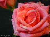 花卉植物:玫瑰之二