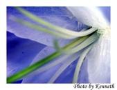 花卉植物:百合