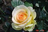 未分類相簿:黃玫瑰