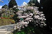 2011阿里山吉野櫻花:MIN_0050.JPG