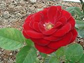 0430賞玫瑰:DSC00785