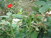 0430賞玫瑰:DSC00800