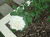 0430賞玫瑰:DSC00790