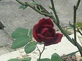 0430賞玫瑰:DSC00773