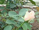 0430賞玫瑰:DSC00781
