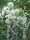 0430賞玫瑰:DSC00794