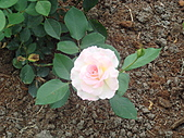0430賞玫瑰:DSC00782