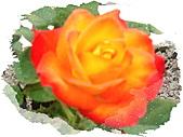 0430賞玫瑰:DSC00774-1