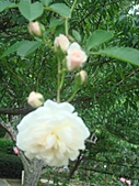 0430賞玫瑰:DSC00795