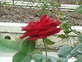0430賞玫瑰:DSC00783