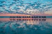 澳大利亞-凱布爾海灘(Cable Beach)日落時分的駱駝隊:澳大利亞-凱布爾海灘日落時分的駱駝隊4.jpg