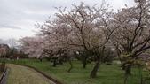 琵琶湖畔櫻花林:DSC01468.JPG