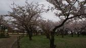 琵琶湖畔櫻花林:DSC01477.JPG