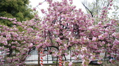 造幣局櫻花盛開:DSC01995.JPG