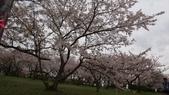 琵琶湖畔櫻花林:DSC01476.JPG