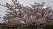 琵琶湖畔櫻花林:DSC01474.JPG