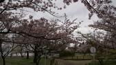 琵琶湖畔櫻花林:DSC01466.JPG