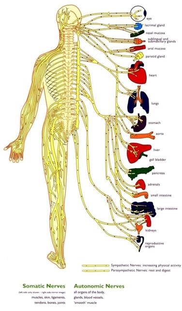 行動相簿:nervous-system.jpg