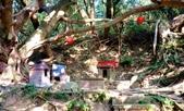 台灣中部景點攝影之旅:苖栗後龍土地公老榕樹11.jpg