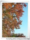 石門水庫--大溪--櫻花道-我的故鄉事:內柵國小校園內有名的楓香樹