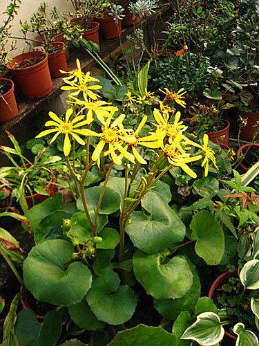 山菊.jpg - 植物參考圖片