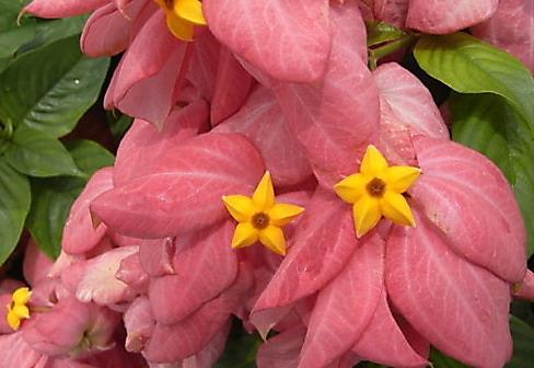 粉葉金花.jpg - 植物參考圖片