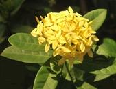 植物參考圖片:黃仙丹.jpg