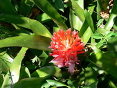 植物參考圖片:紅筆鳳梨.jpg