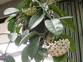 植物參考圖片:毬蘭.jpg