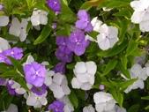 植物參考圖片:番茉莉.jpg