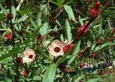 植物參考圖片:洛神花.JPG