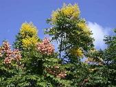 植物參考圖片:台灣欒樹.jpg