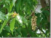 植物參考圖片:黃玉蘭.jpg