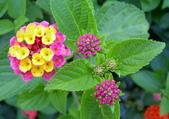 植物參考圖片:馬纓丹.jpg