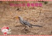 東南非 East & South Africa:黃嘴犀鳥