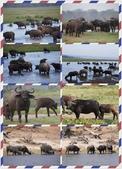 東南非 East & South Africa:繁殖群與單身漢群