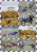 東南非 East & South Africa:非洲野牛