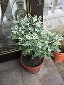 20081004香草植物:DSC03780.JPG