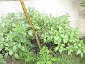 20081004香草植物:DSC03786.JPG