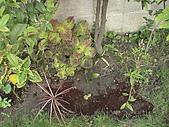 20081004香草植物:DSC03788.JPG