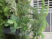 20081004香草植物:DSC03792.JPG