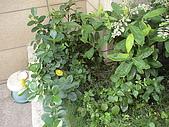 20081004香草植物:DSC03794.JPG